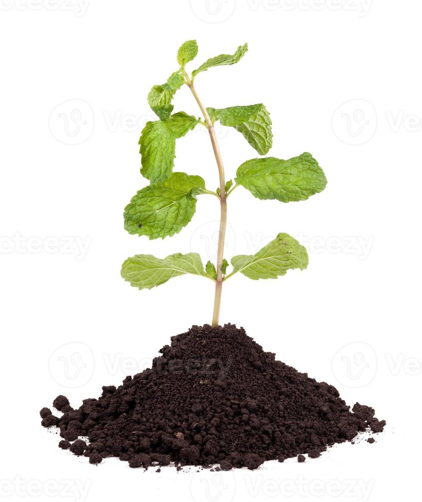 Organic Mint Herb Isolated photo