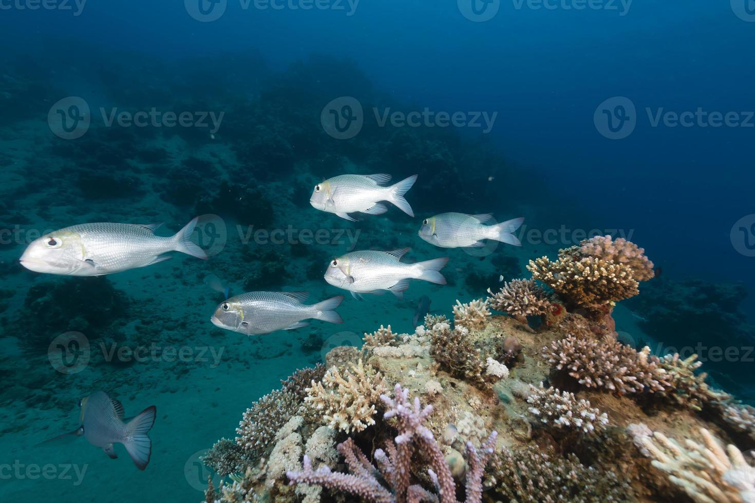 Underwater world in the Red Sea. photo