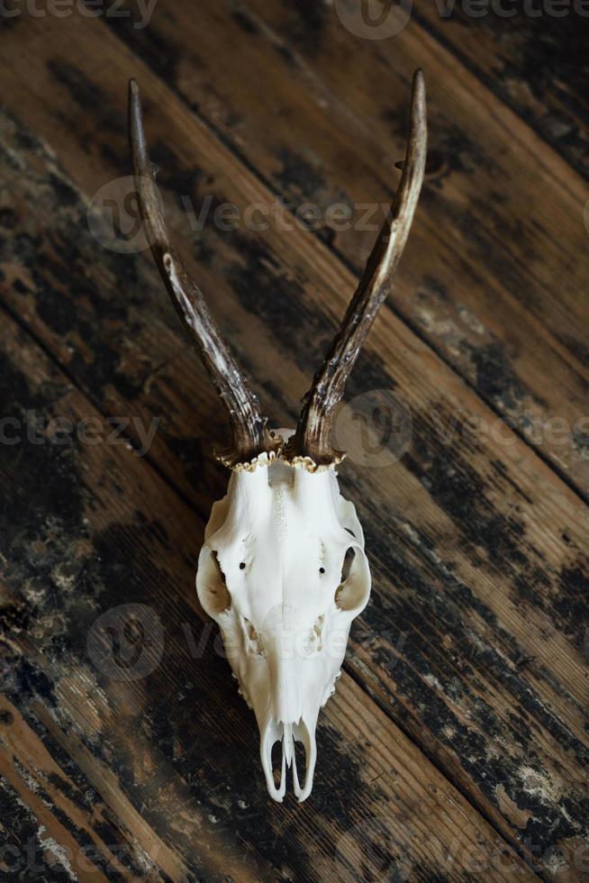 cráneo de dólar en tablas viejas foto