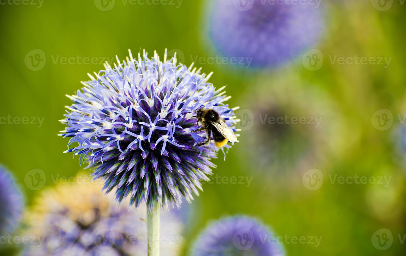 bee on a thistle flower photo