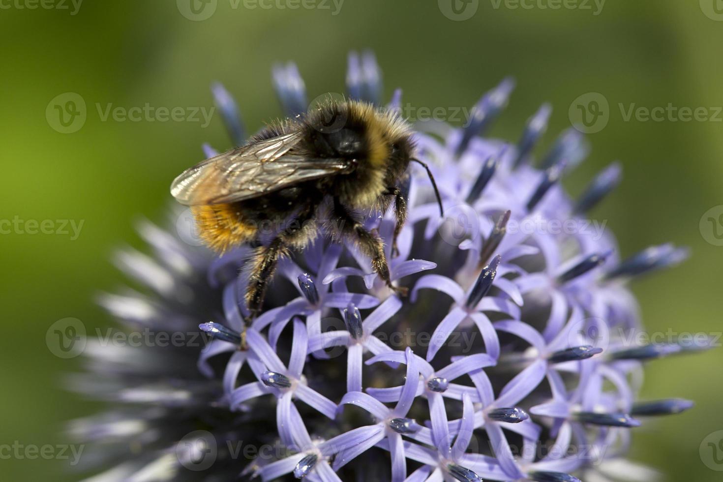 abelha-de-cauda-vermelha macho no cardo globo foto