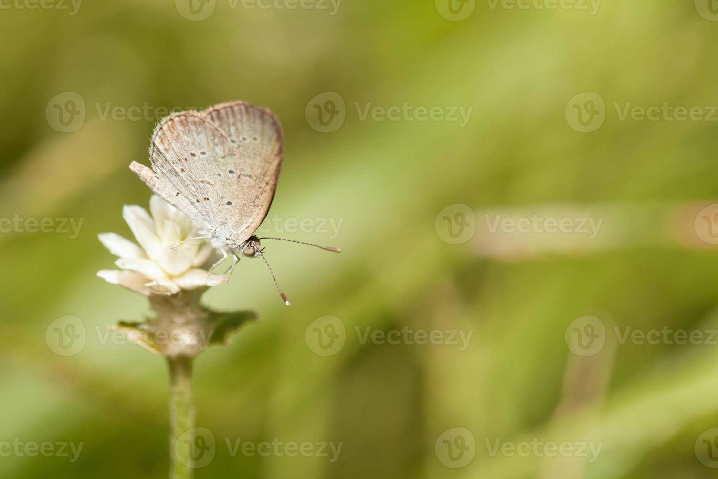 lichtgras blauwe vlinder met wilde wereld eeuwige bloem foto