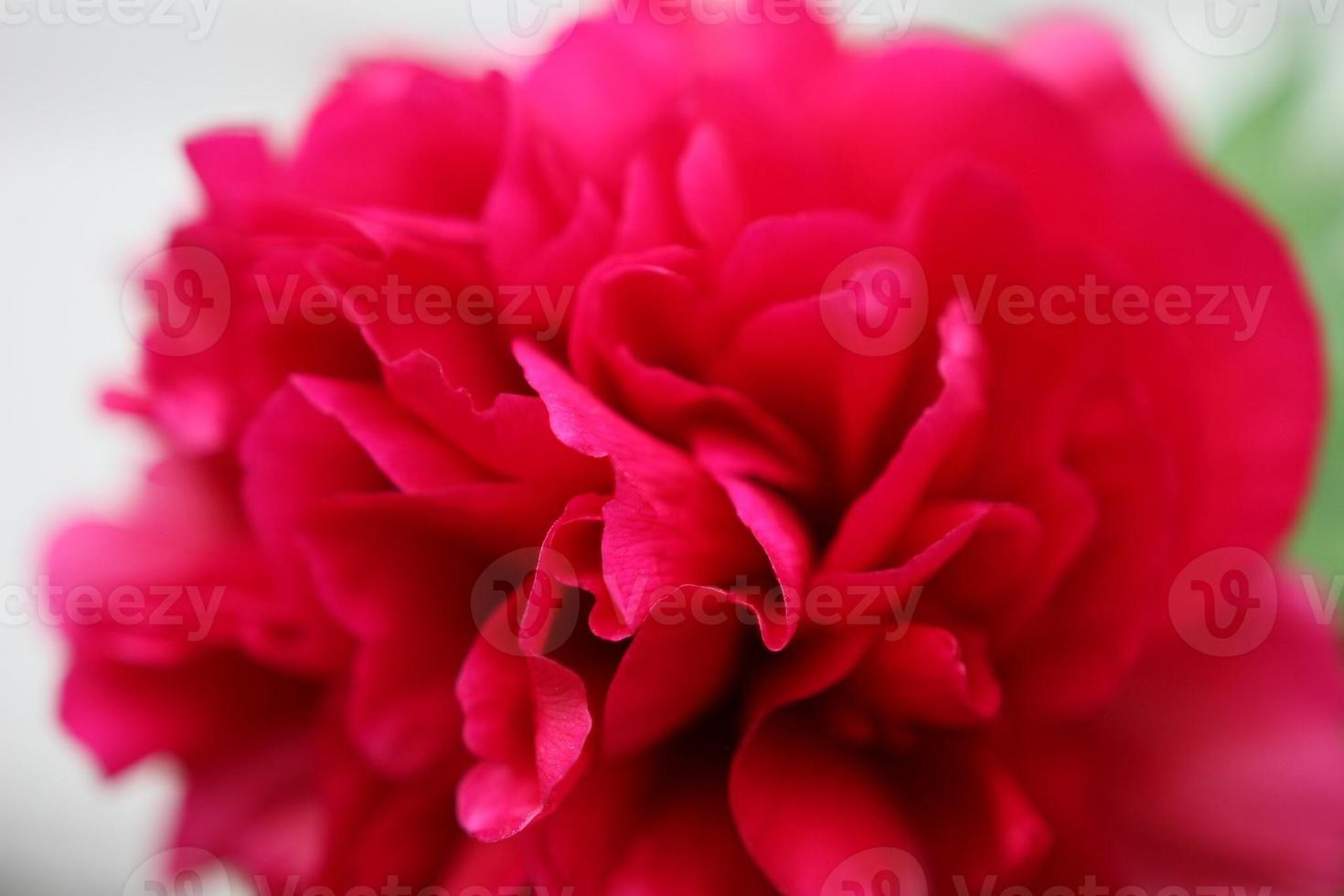 Paeonia officinalis fleur globe rose vif vivace photo