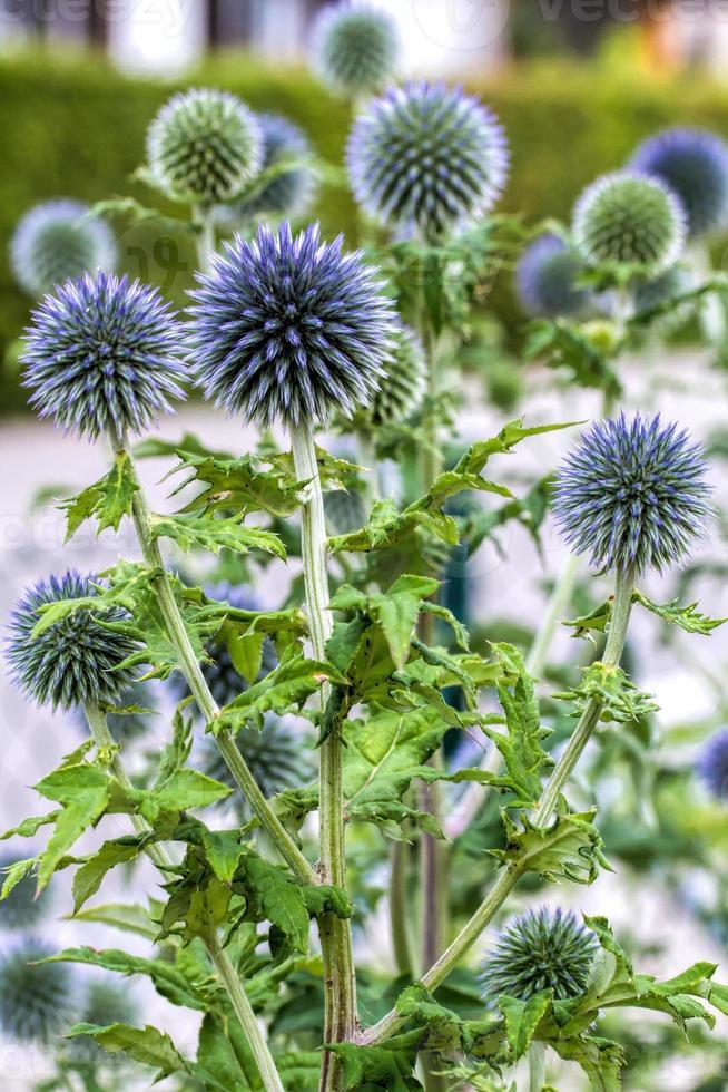 Cardo azul (echinops) en el jardín foto