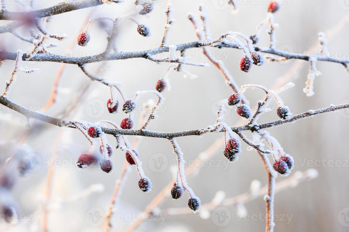 rote Beeren auf den gefrorenen Zweigen mit Raureif bedeckt foto