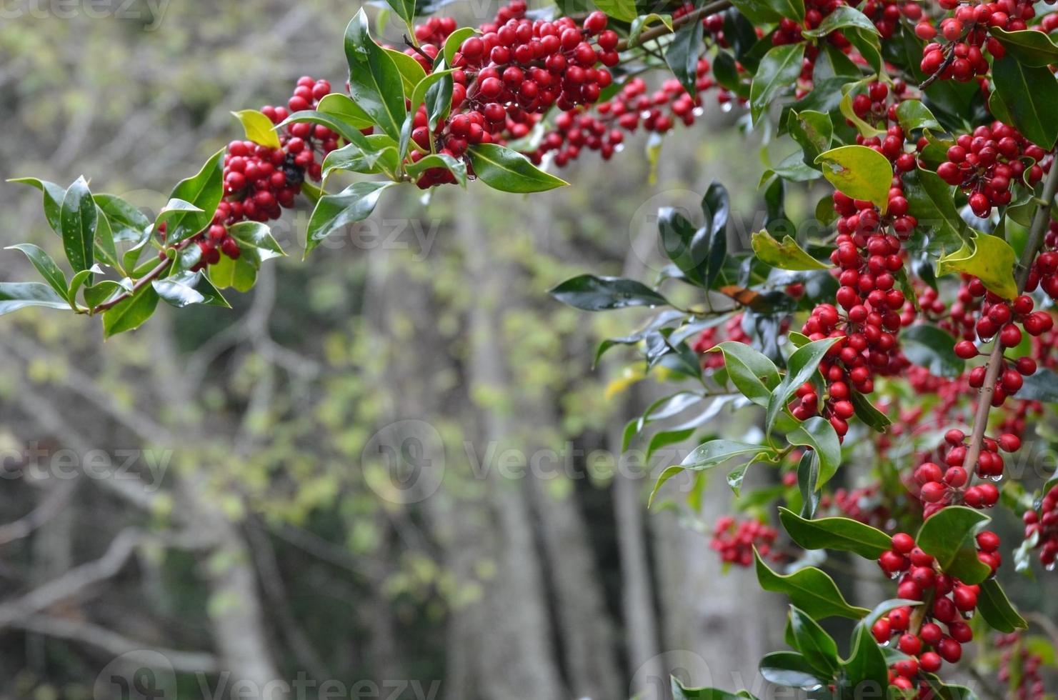 Holly Weihnachtshintergrund foto
