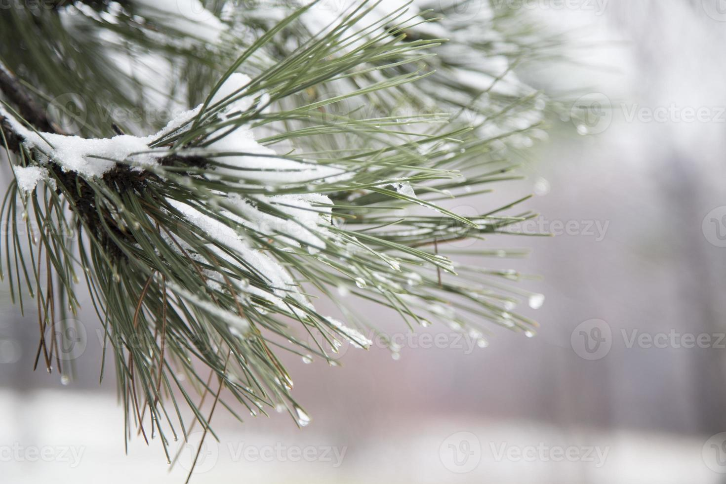 Branch with ice and snow photo