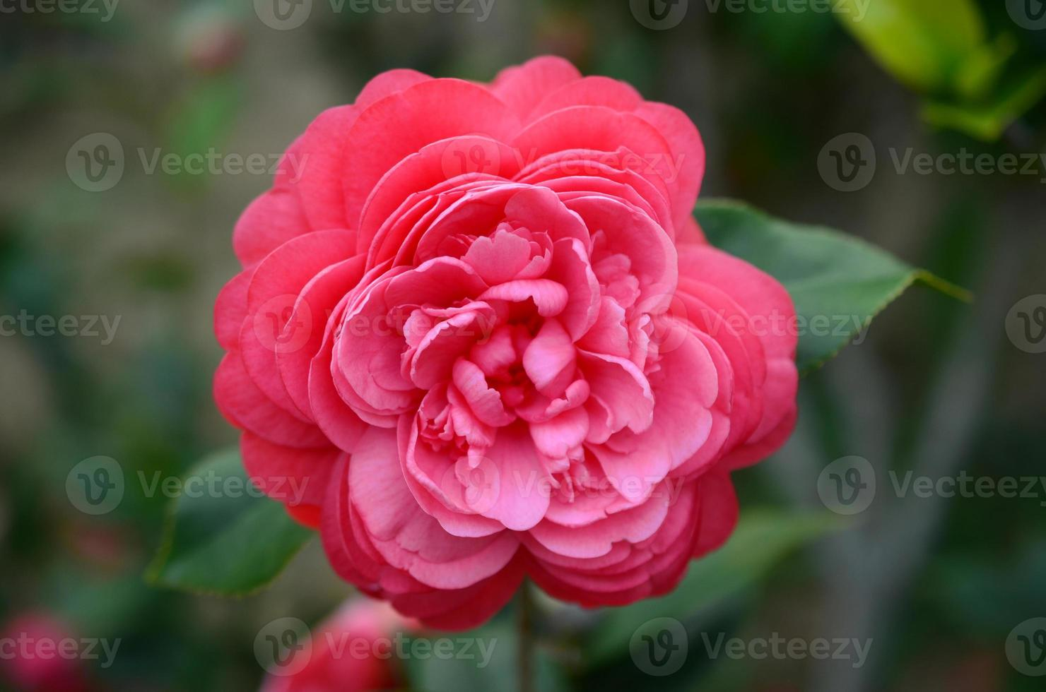 Camellia japonica photo