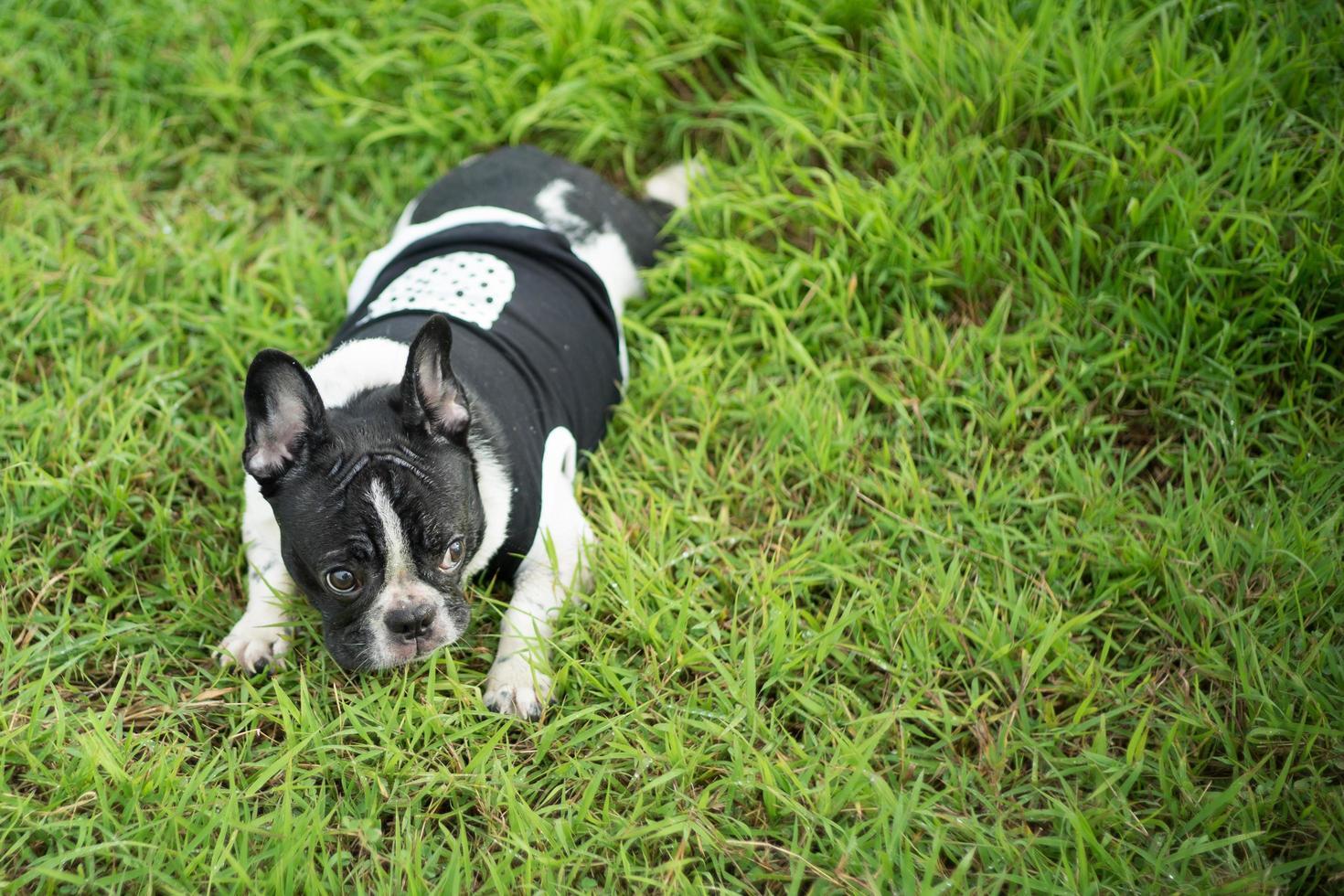 lindo, boston terrier, perro, en, parque verde foto