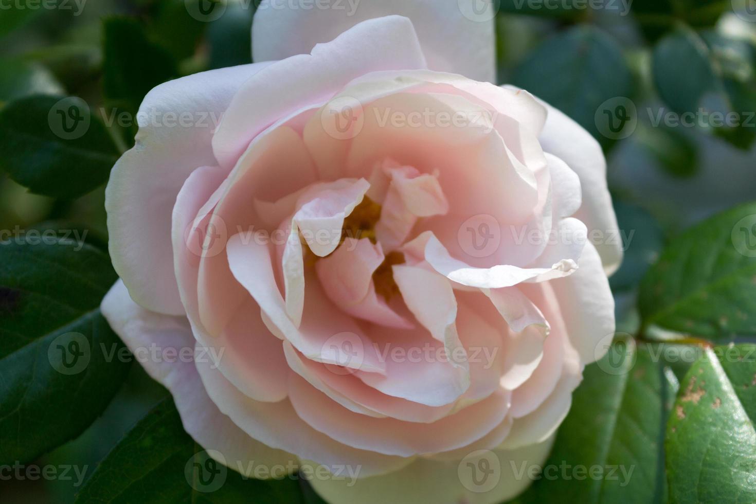 Light Pink English Rose photo