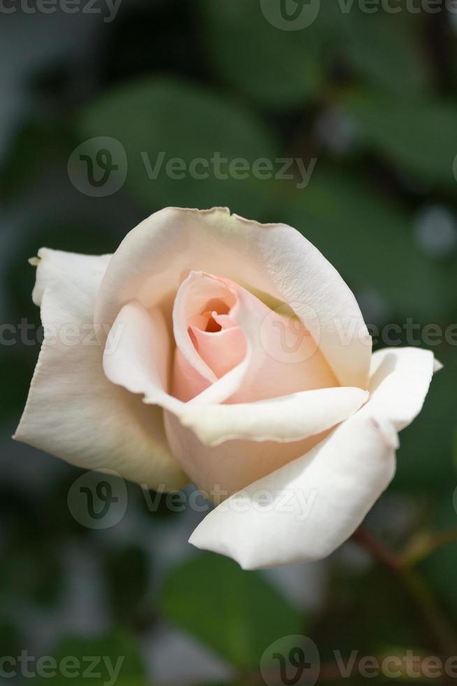 Cream & Pink Rosebud photo