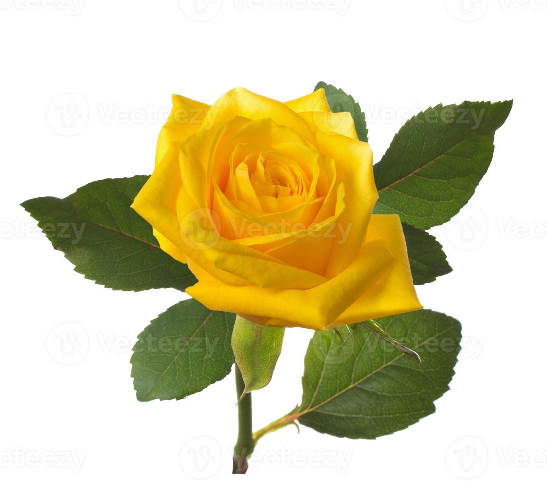 sola hermosa rosa amarilla foto
