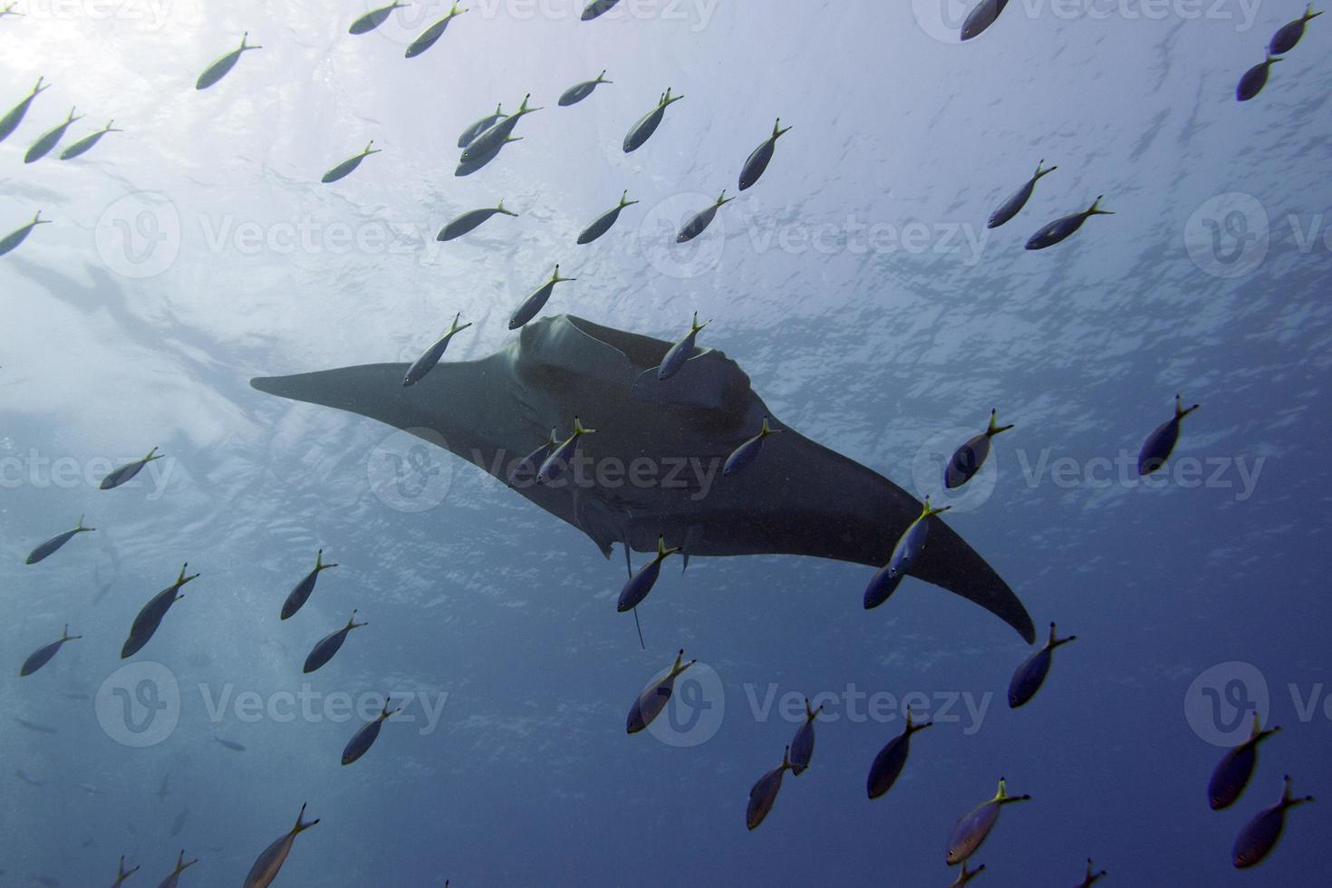 Manta in the deep blue sea while diving photo