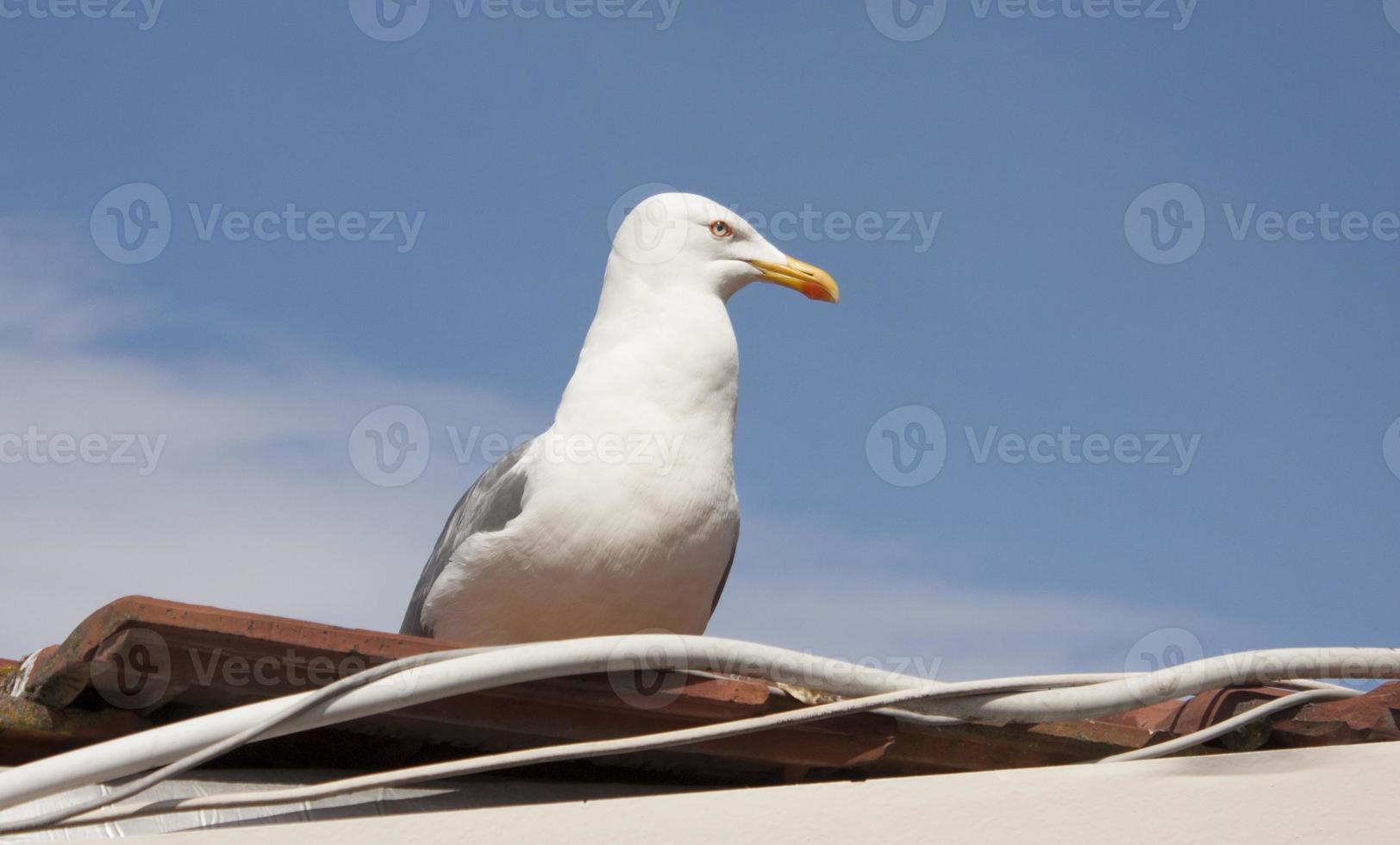Caspian Gull photo