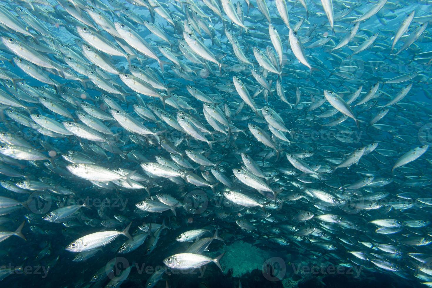 Inside a school of fish underwater photo