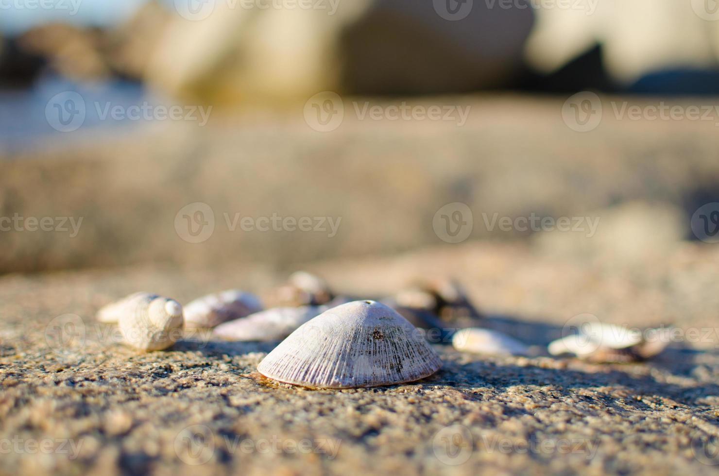 Dry Seashells photo
