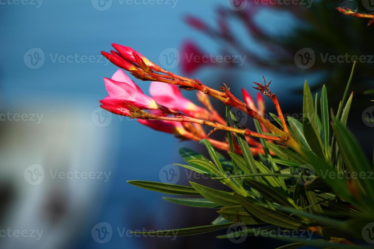 Beautiful buds of oleander flower photo