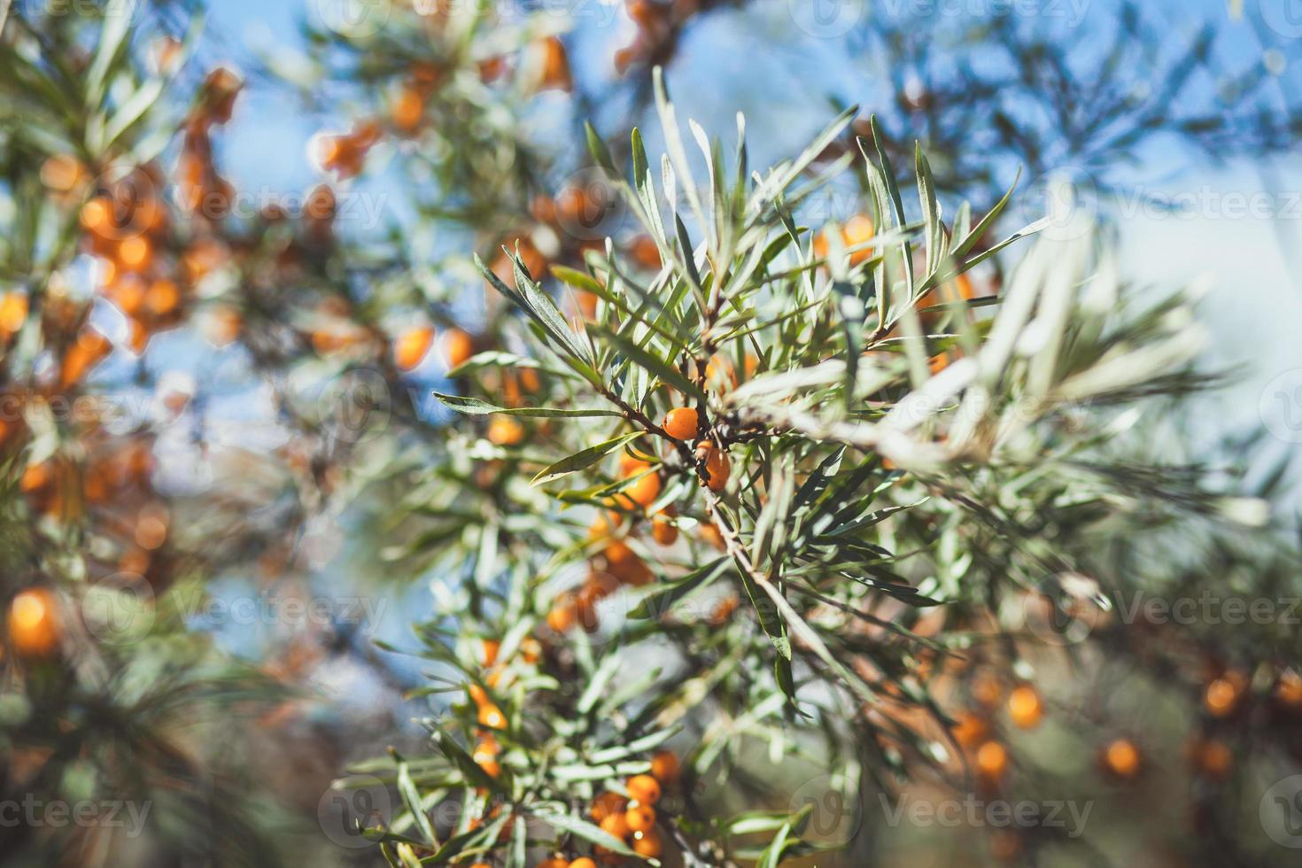 Branch with berries of sea buck-thorn and green leaves photo