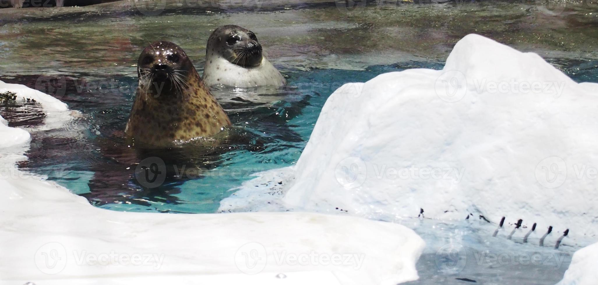 Seals in the aquarium photo