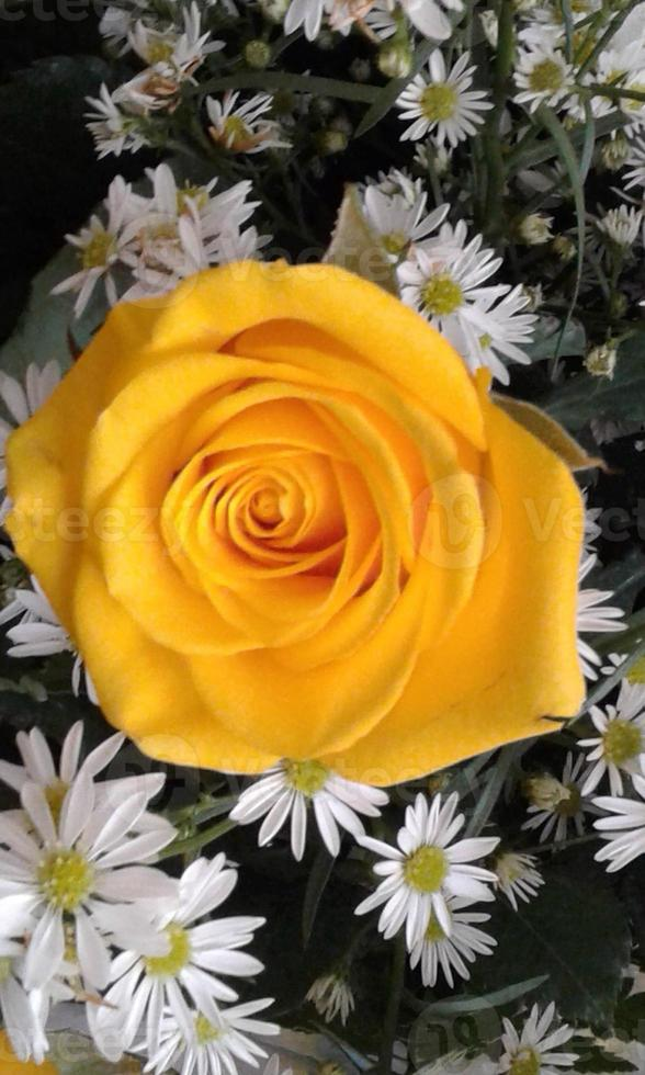 Rose and daisies. photo