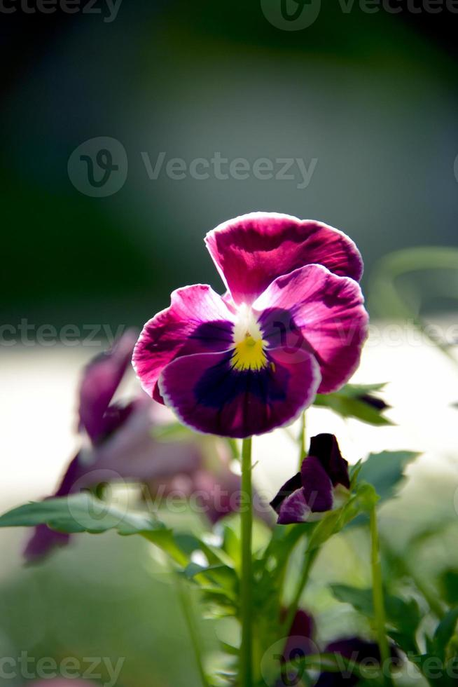 One Purple Pansy photo
