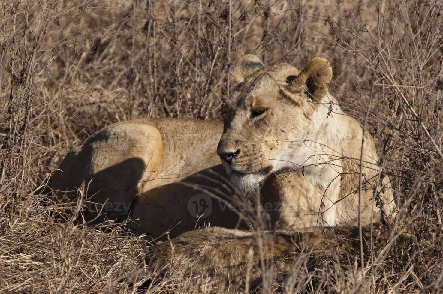 resting lioness photo