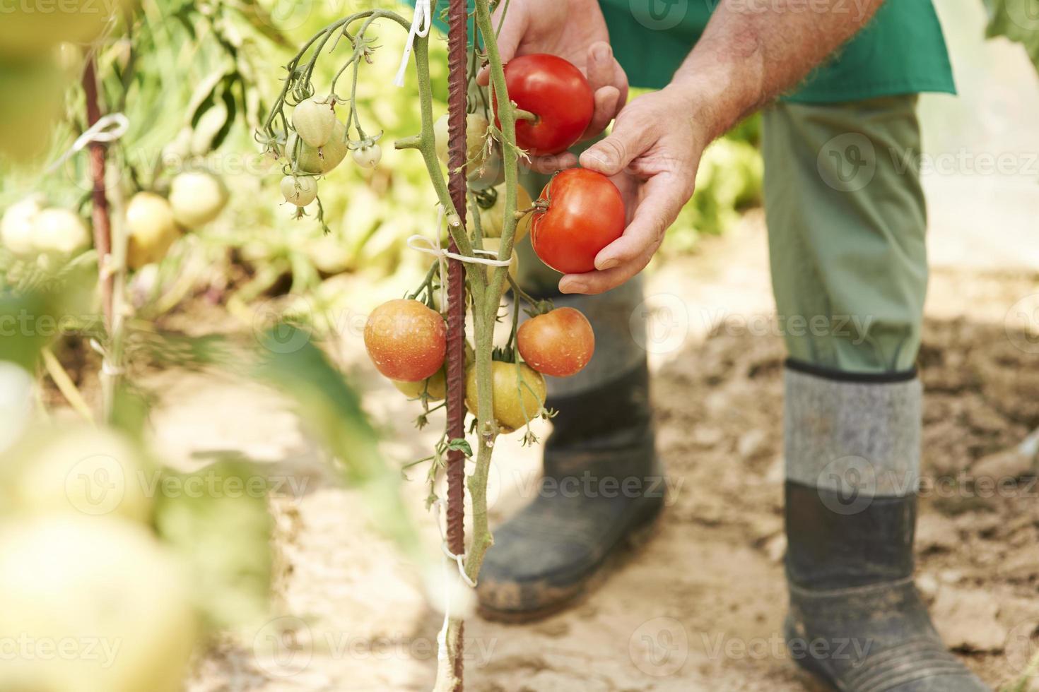 Fresh tomatoes from my garden photo