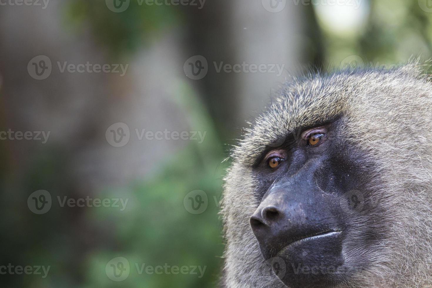Baboon - Tarangire National Park - Wildlife Reserve in Tanzania, photo