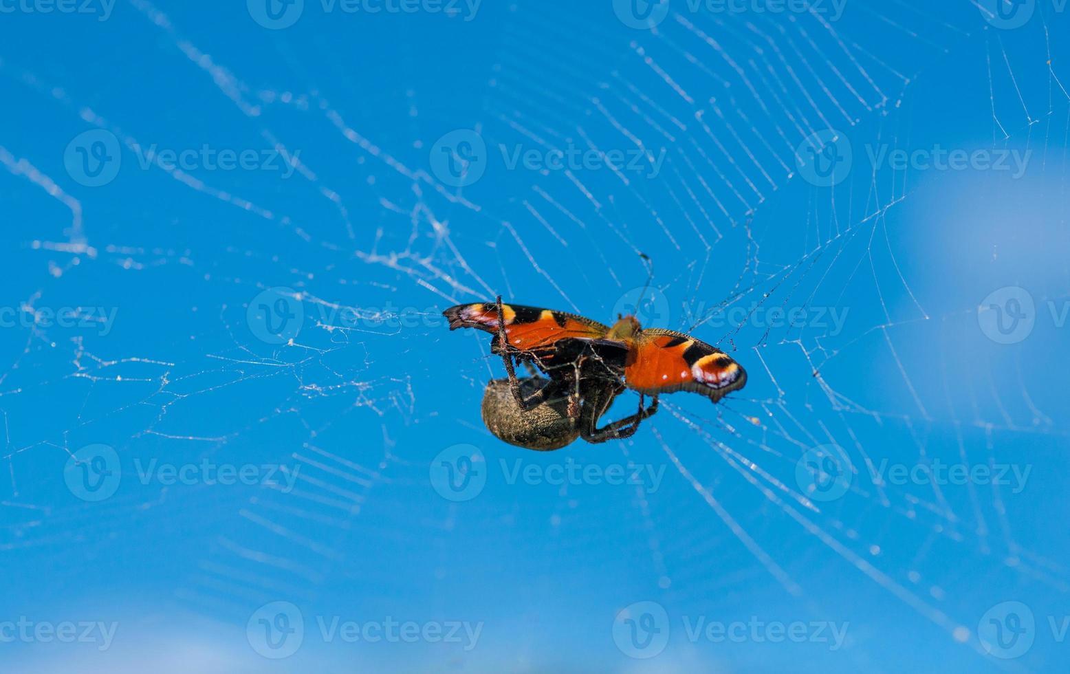 araña comiendo a su presa. foto