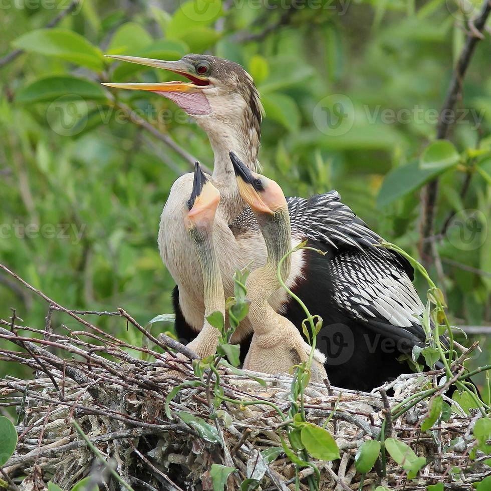 Female American Anhinga with Young at Nest - Everglades National photo