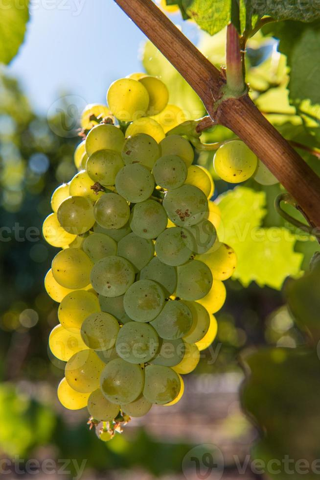 Close-up of wine grapes growing on the vine photo