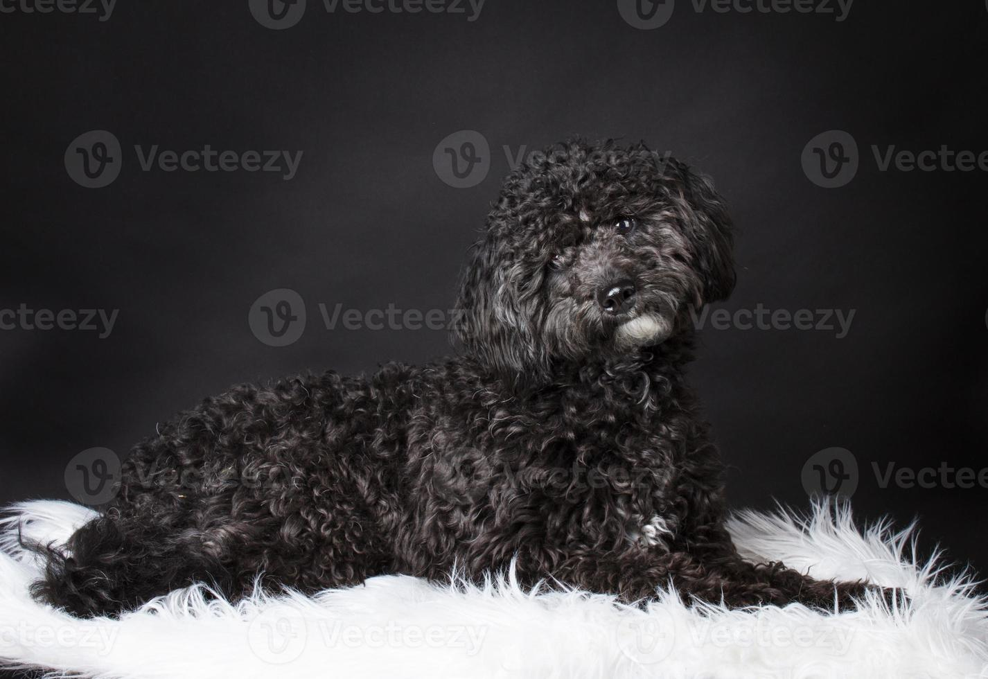 Labradoodle photographed in the studio photo