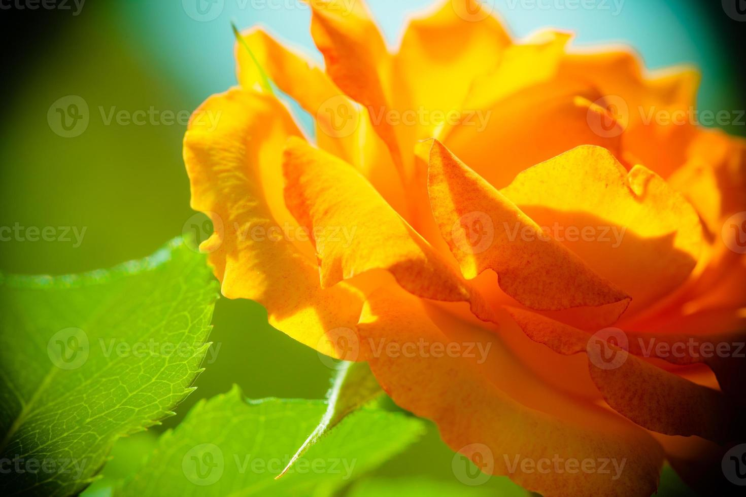 Nature. Orange rose flower for background photo
