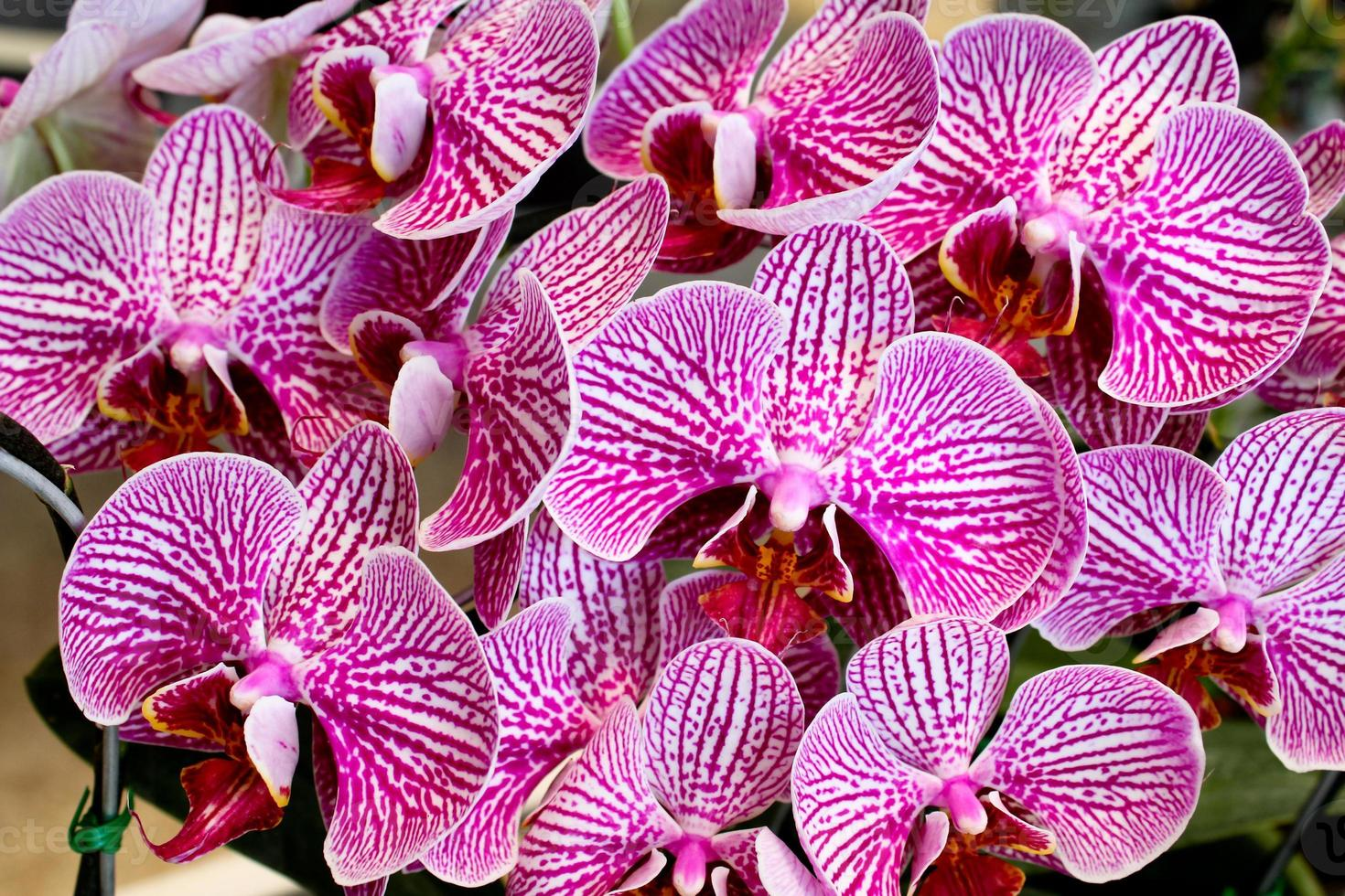 hermosa orquídea púrpura foto