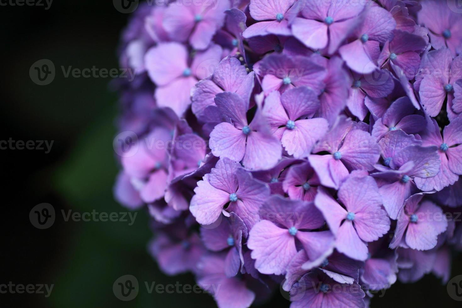 hortensia morada foto