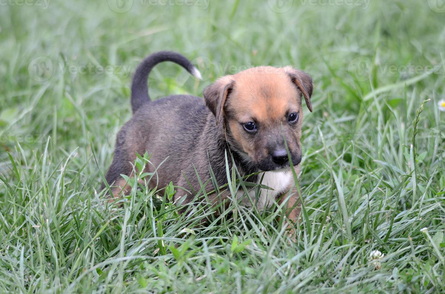 Cute amstaff puppy photo
