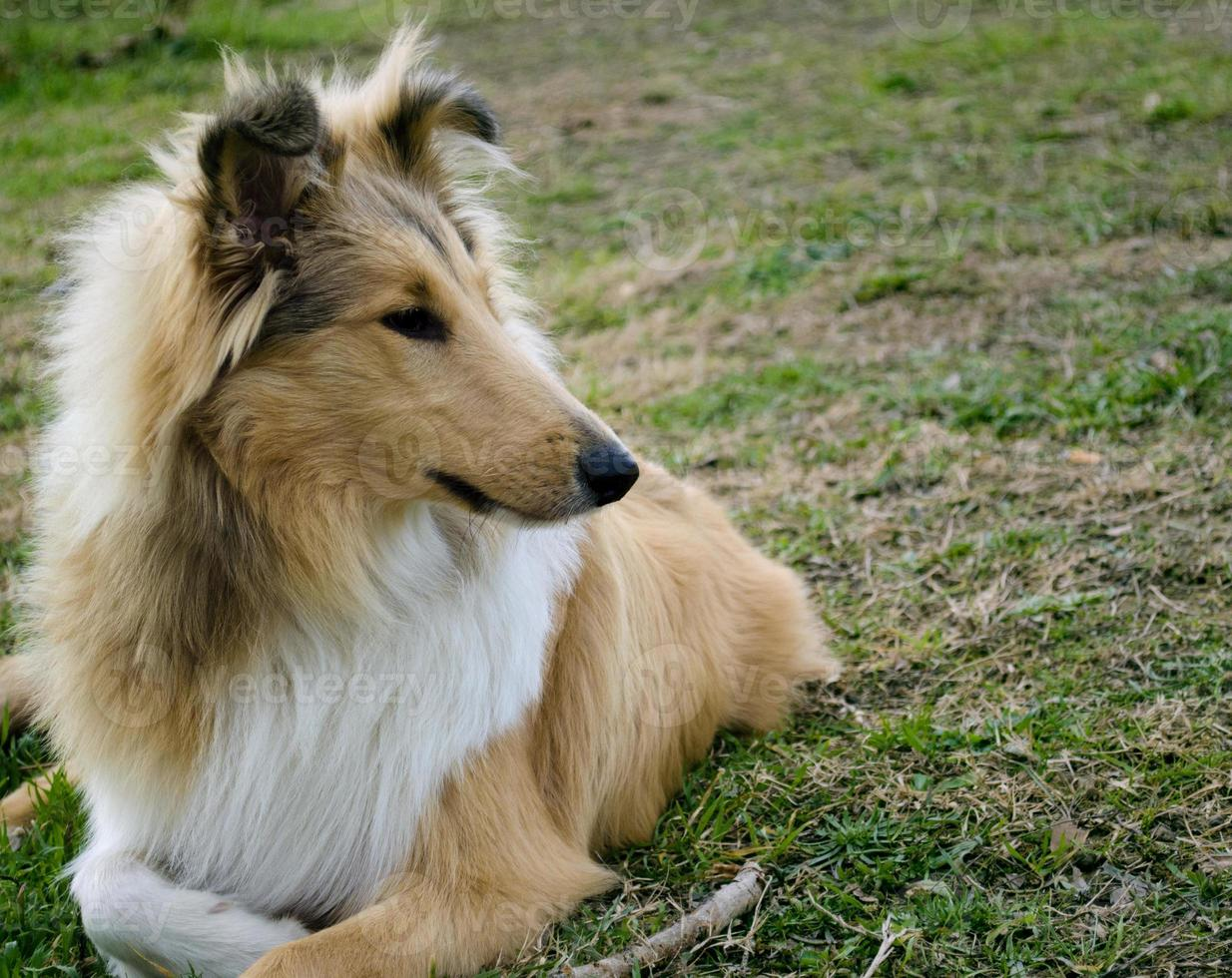 Rough Collie staring photo