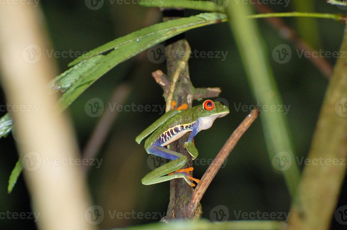 Tree frog Costa Rica photo