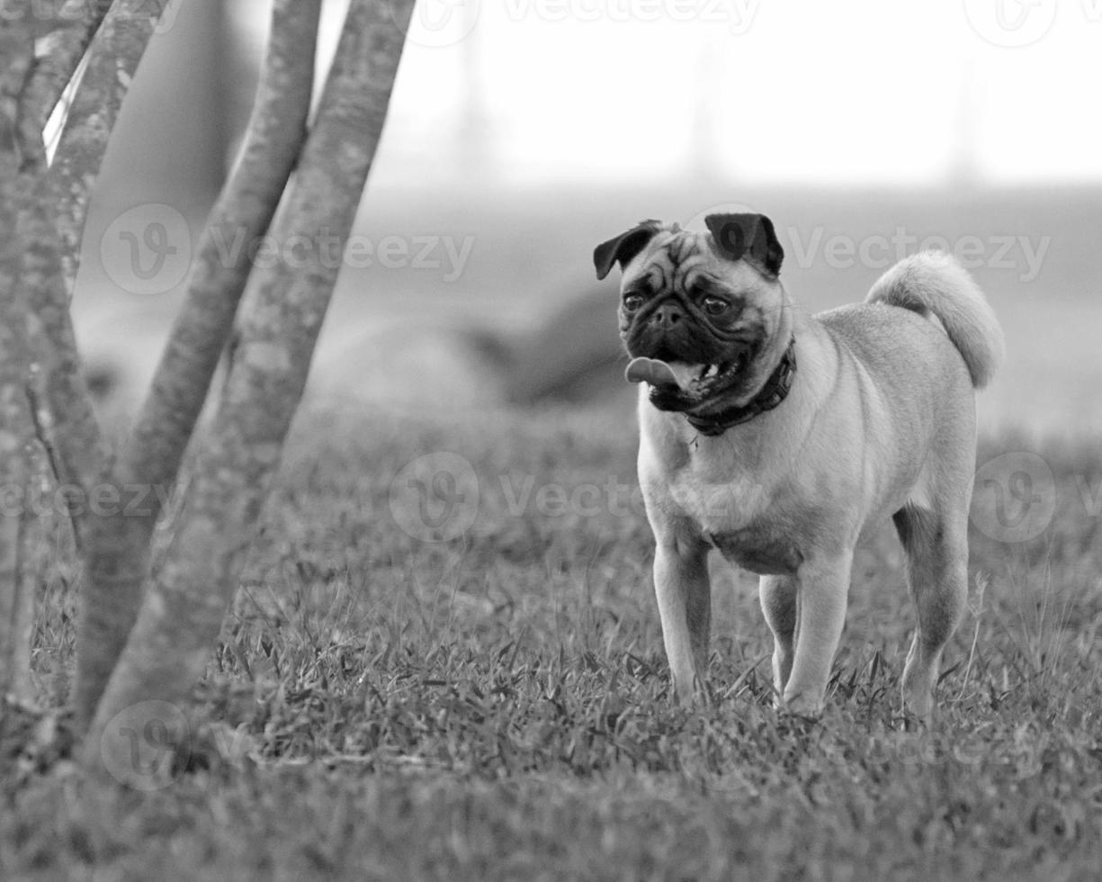 Pug puppy standing - black and white photo