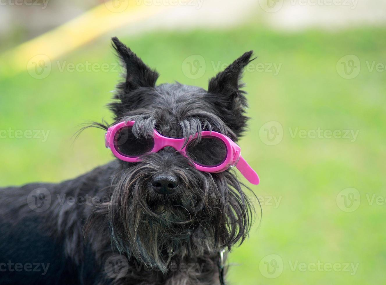 Small dog with glasses photo