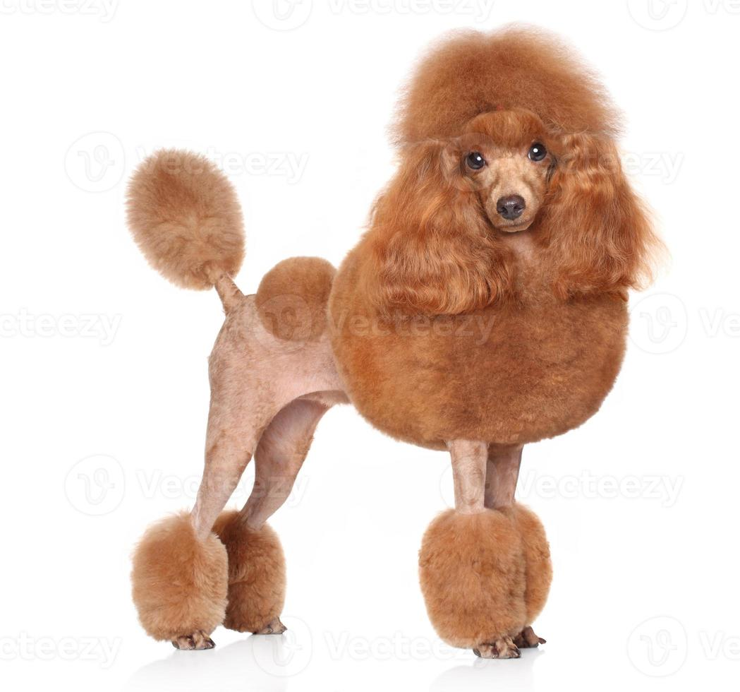Toy-Poodle on a white background photo