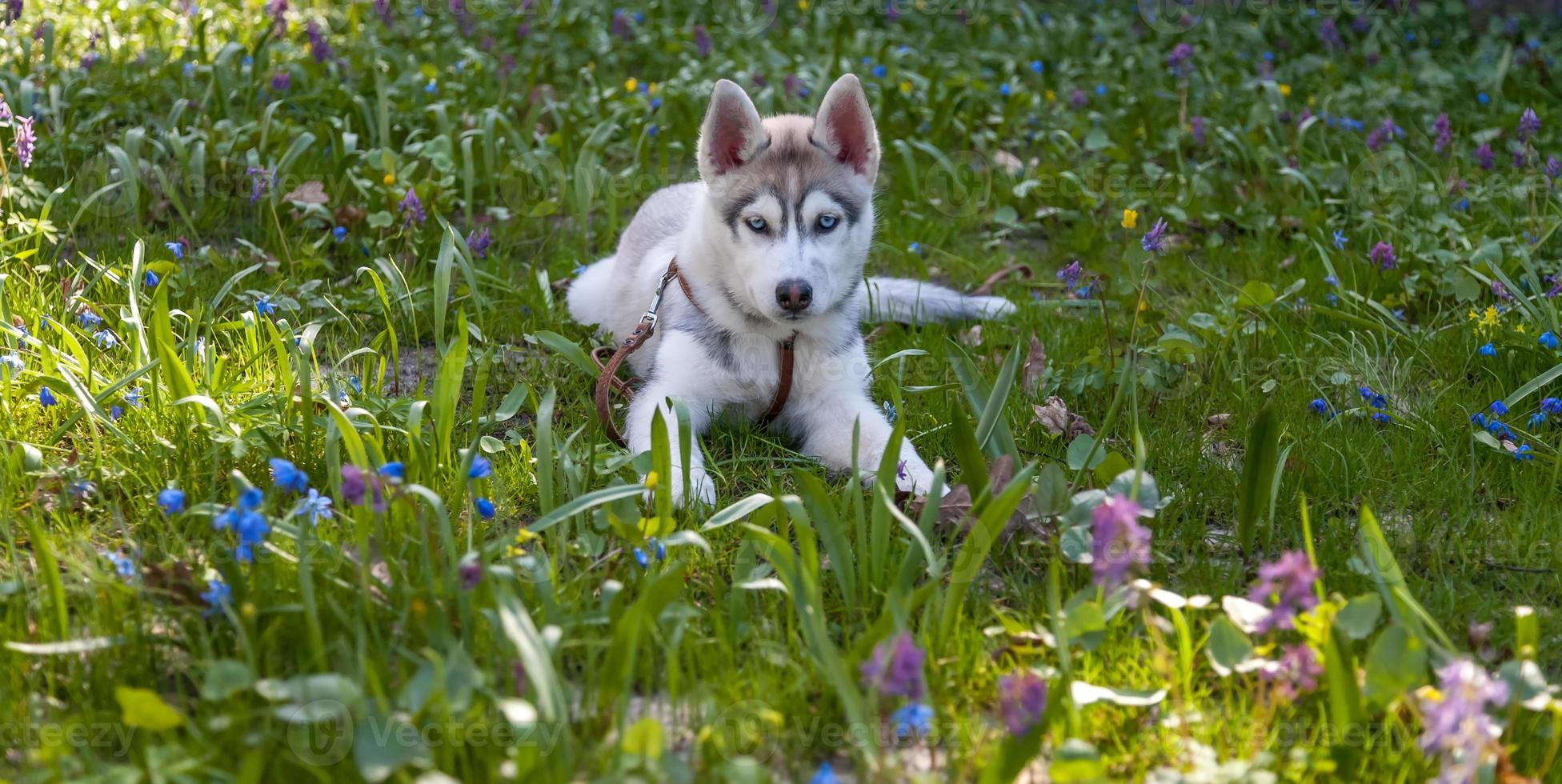 Portrait of puppy Siberian Husky photo