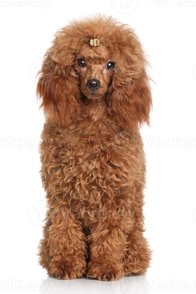Red Miniature poodle photo