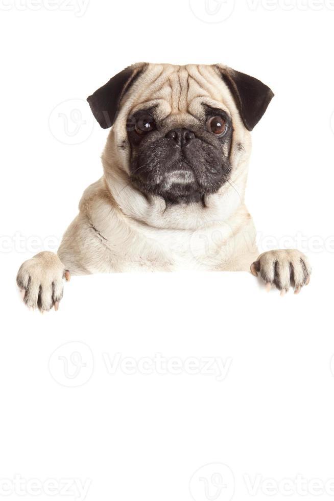 perro pug con cartelera en blanco. foto