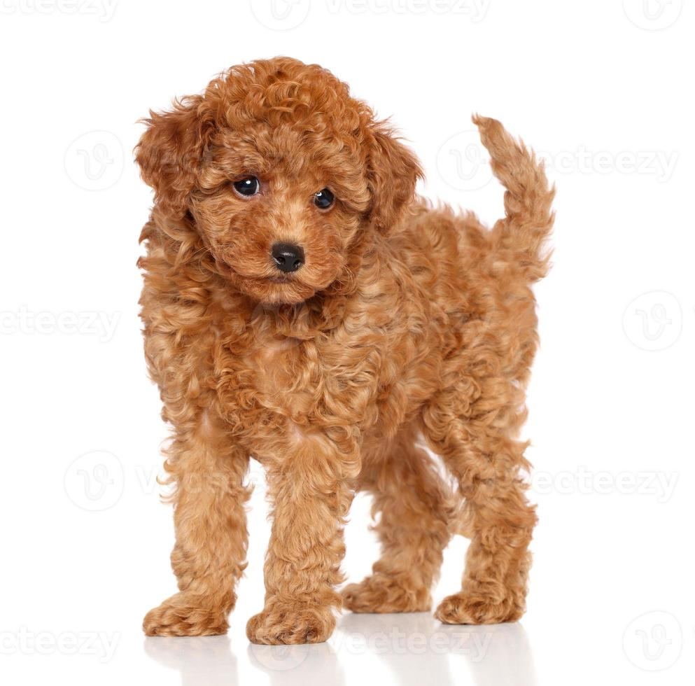 Poodle puppy on a white background photo