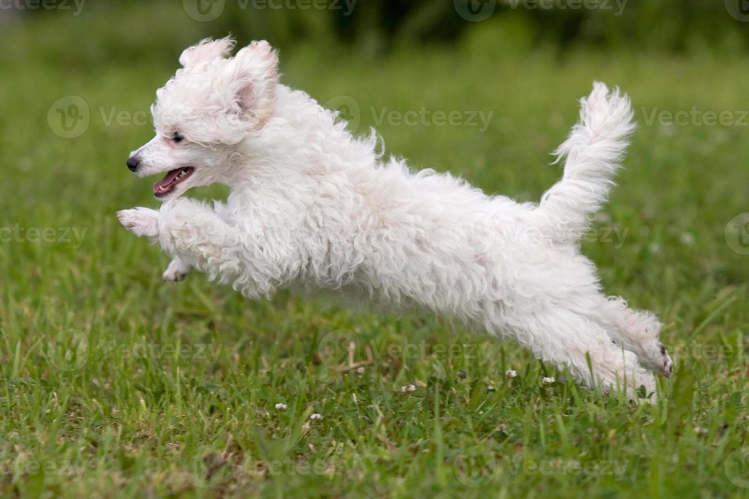 Poodle Puppy jumping on the green grass photo