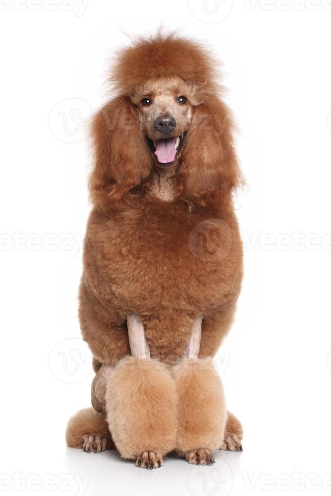 Red Standard Poodle photo