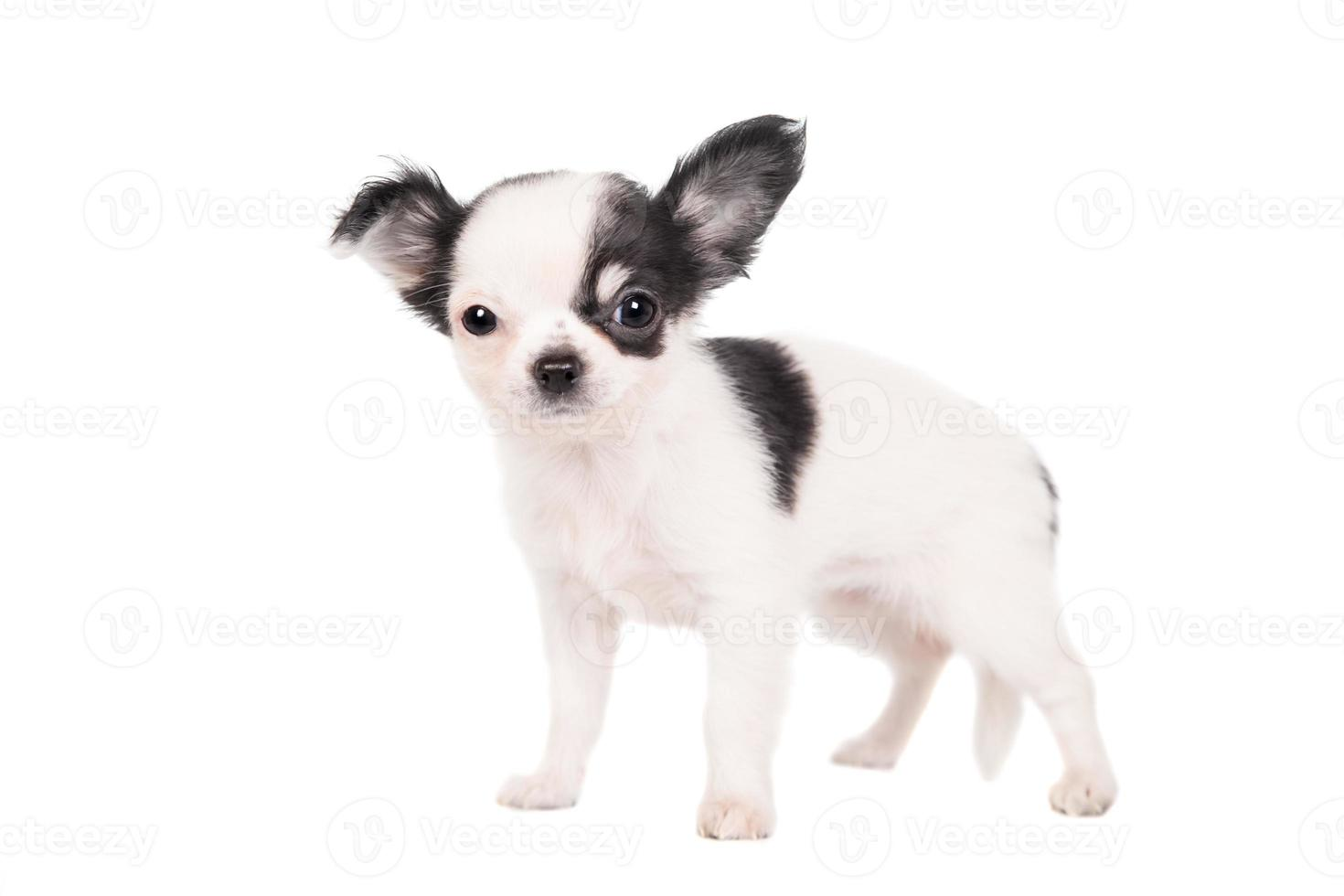 Long-haired white chihuahua dog photo