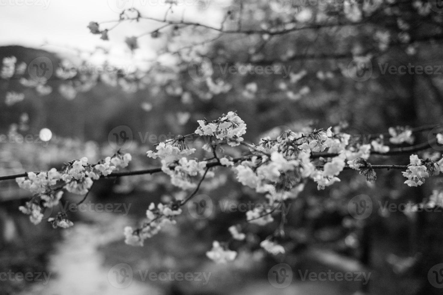 Cherry blossom in Tokyo spring photo