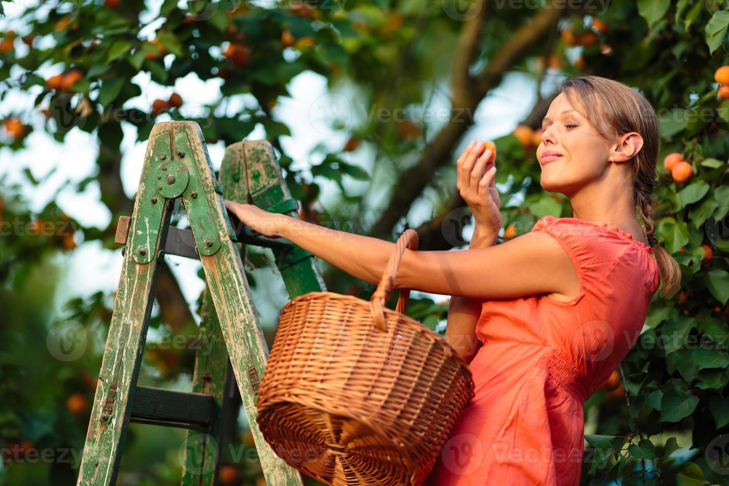Pretty, young woman picking apricots photo